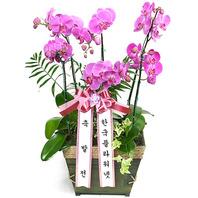 호접란K(핑크)