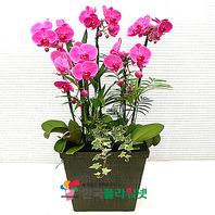 호접란N(핑크)