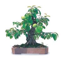 모과나무B