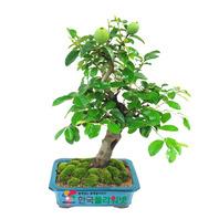 모과나무A
