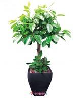 벵갈고무나무(대)
