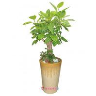 벵갈고무나무(중)